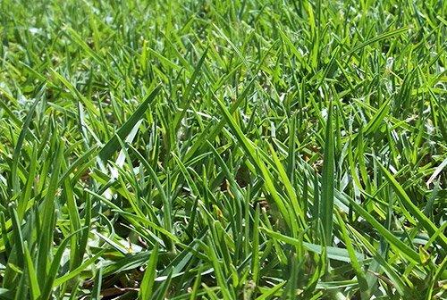 Pasto en rollo variedad kikuyo o alfombra pasto en rollo for Tipos de cesped natural para jardin