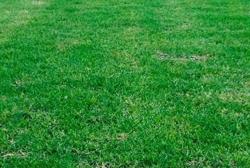 Pasto en rollo variedad kikuyo alfombra pasto en rollo for Cesped en rollo